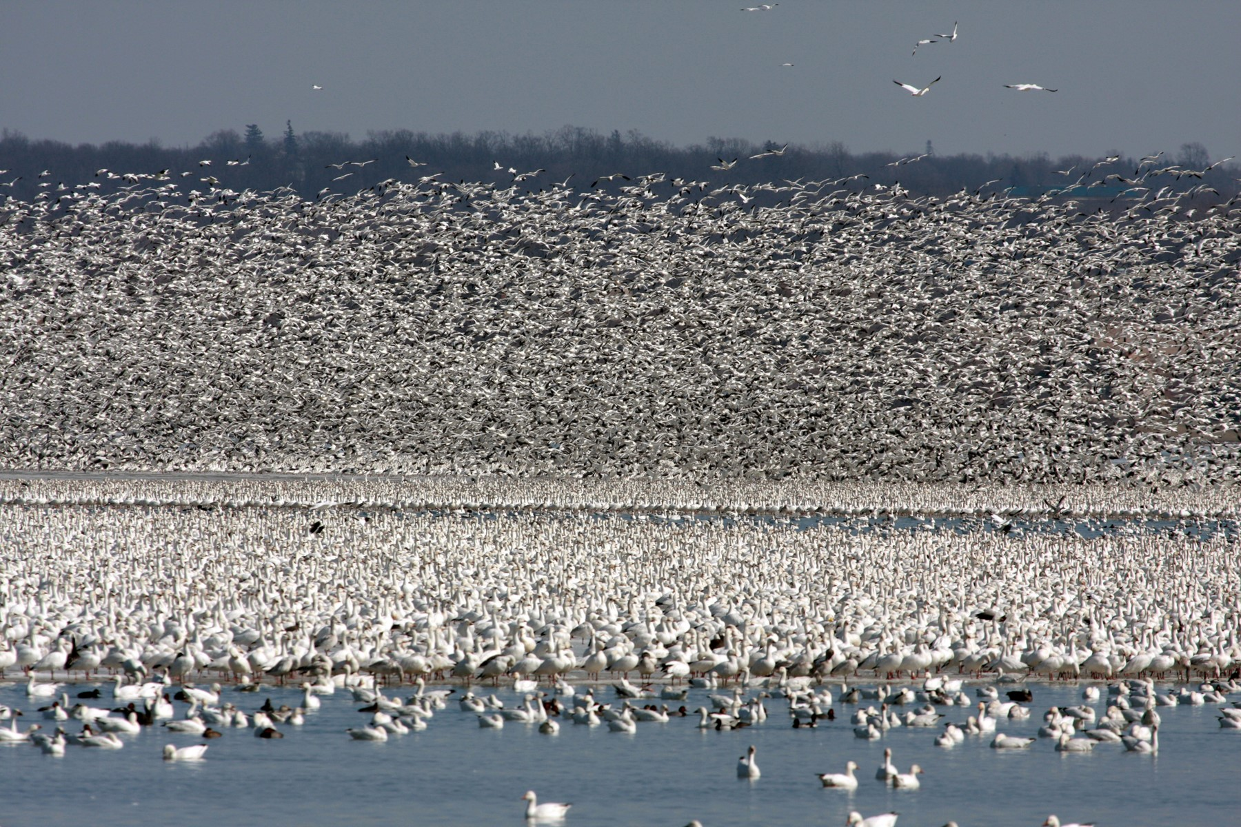 Snow Geese from Andy Saunders 2015